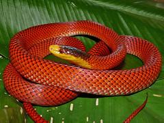 Oxyrhopus formosus