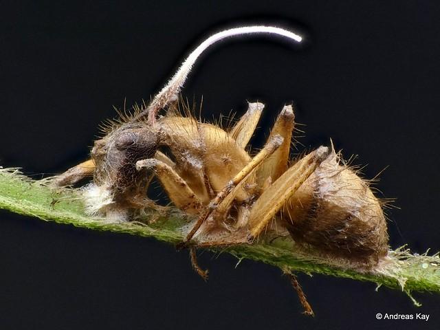 Ant, Camponotus sp. with Entomopathogenic fungus, Ophiocordyceps camponoti-atricips?