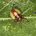 Birch Shieldbug Mid Instar Nymph