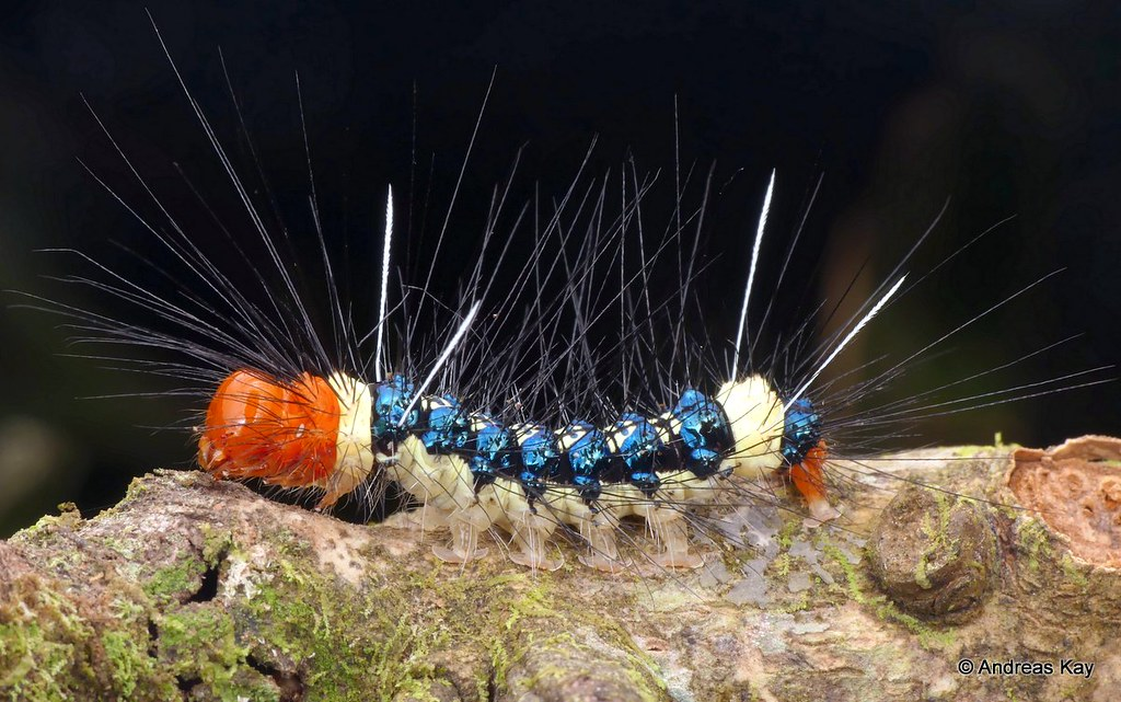 Fancy caterpillar of a Tiger moth, Dysschema sp.?