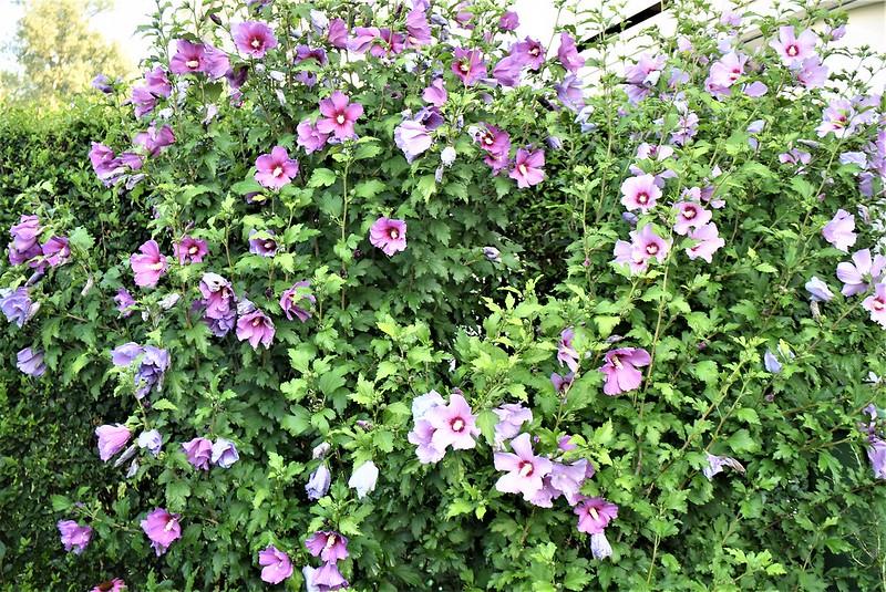 Hibiscus 18.07 (2)