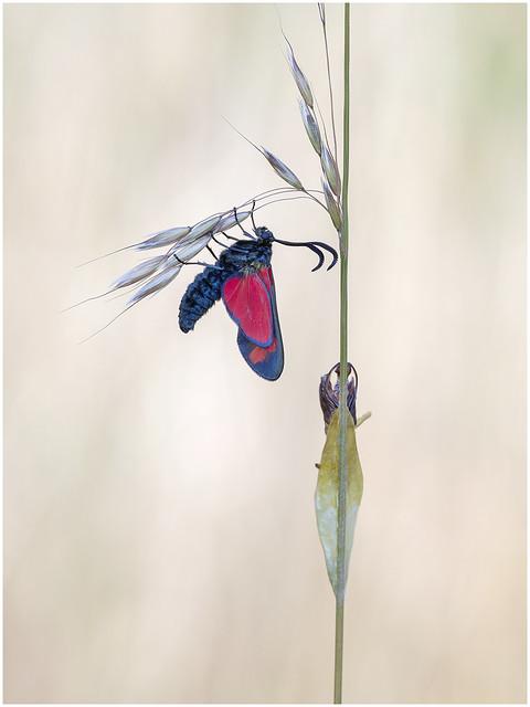 Six Spot Burnet Moth.