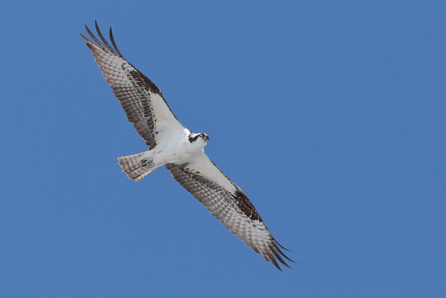 Osprey, Canon EOS 5D MARK IV, Canon EF 500mm f/4L IS II USM