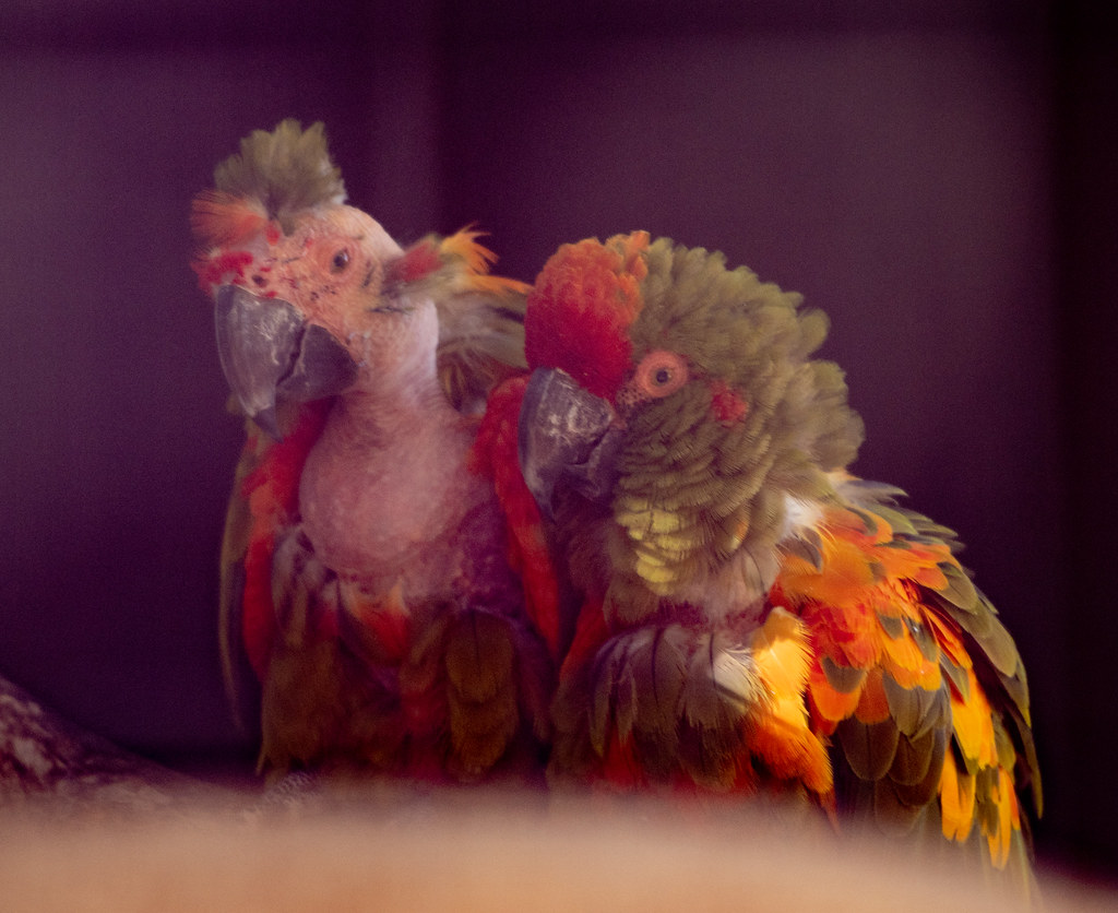 Red Fronted Macaw_4