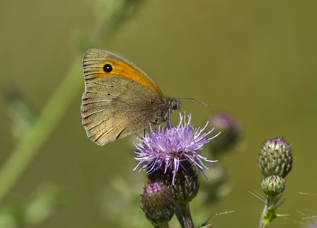 Meadow Brown, Pentax K-5, smc PENTAX-DA* 300mm F4 ED [IF] SDM
