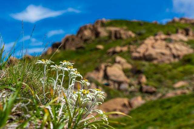 稜線に咲くホソバヒナウスユキソウ