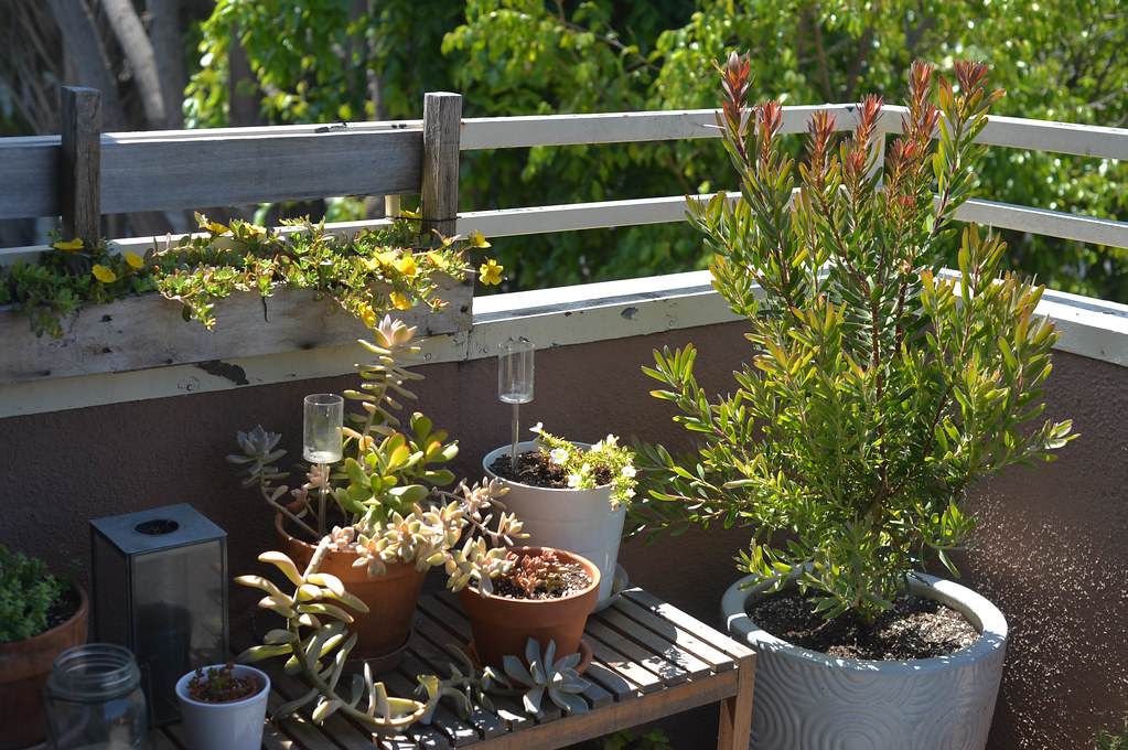 purslane, succulents, cone bush