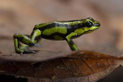 Yellowbelly Poison Frog (Andinobates fulguritus)