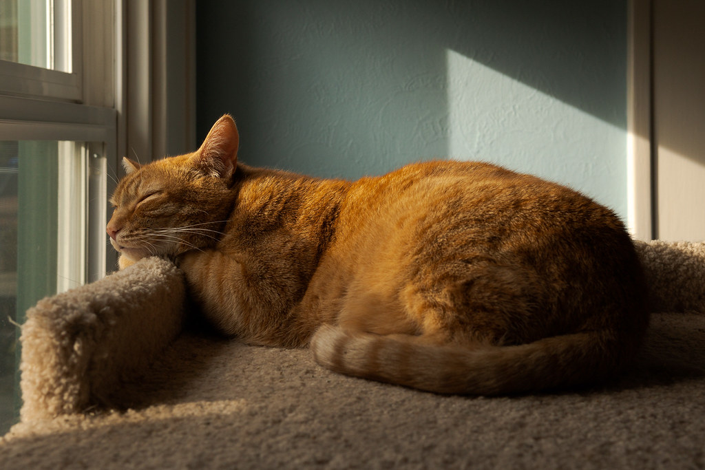 Our cat Sam sleeps atop the cat tree in direct light