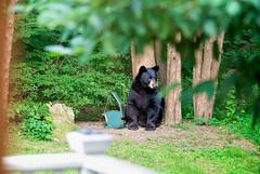 Bear in the yard!