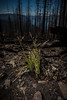 Bear Grass Regrowth from Sprague Fire