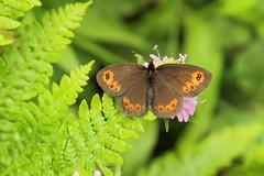 Mount Dajti National Park - butterfly 6