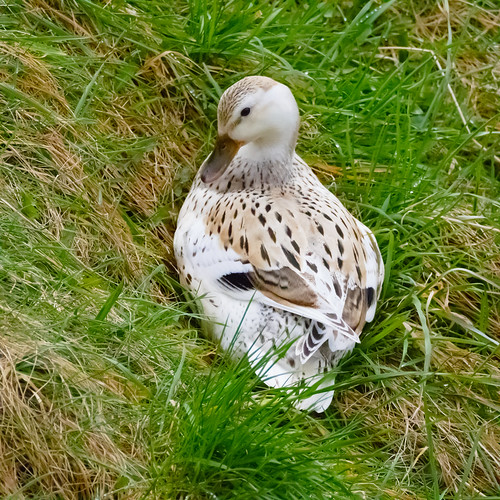 female mallard cross duck, resting on grass