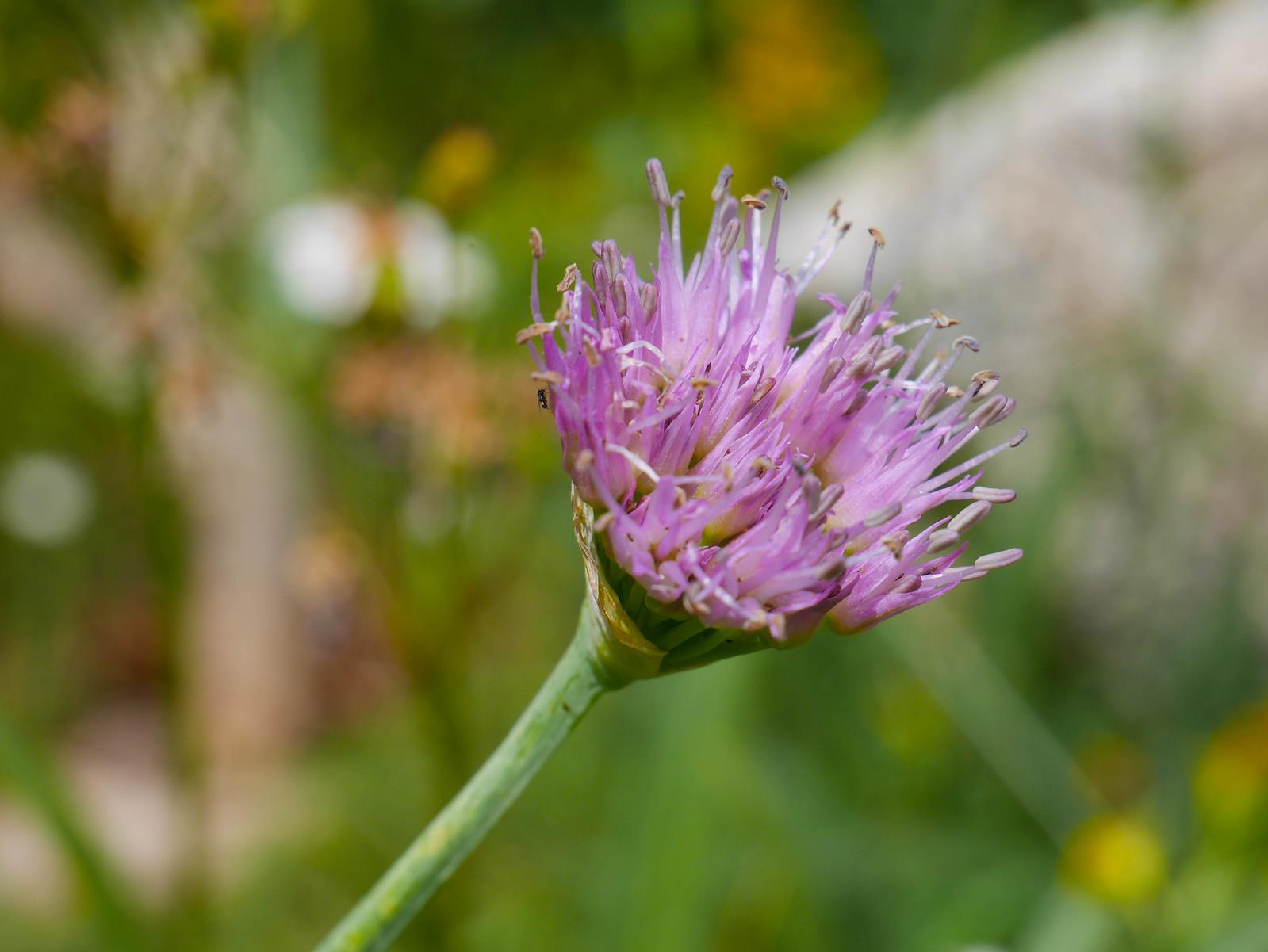 Wild onion