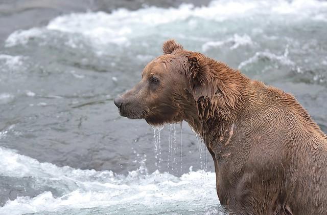 MRC_4873 Katmai bear (Explored), Nikon D500, AF-S VR Zoom-Nikkor 200-400mm f/4G IF-ED