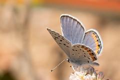 DSC_5871.jpg Acmon Blue butterfly, UCSC Arboretum