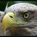015856 2016 29 Juni Monde Sauvage La Reid Belgium Young Bald Eagle C by mensinkr