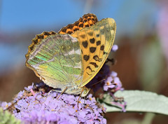 Silver-washed Fritillary (Argynnis paphia) - Photo of Saint-Flovier