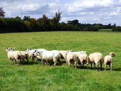 GOC Letchworth 092: Sheep