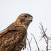 Red-Tailed Hawk by noblesgeorge1