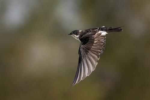 Swift Swallow