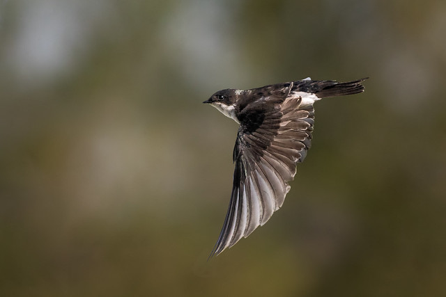 Swift Swallow