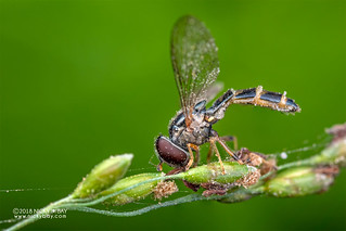 Hoverfly (Syrphidae) - DSC_5549
