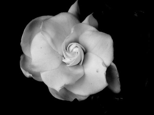 Black Gardenia