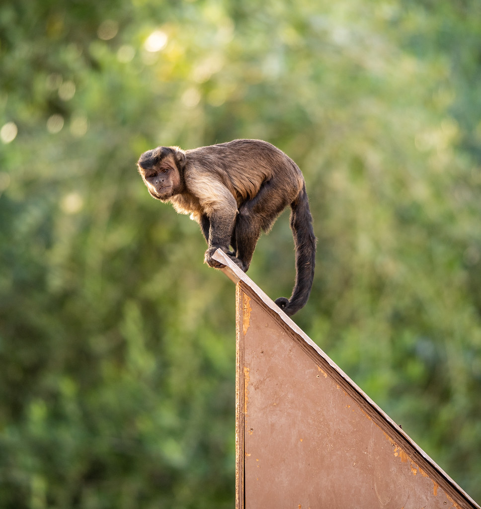 BrownTufted Capuchin