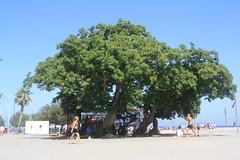 Gran arbre a la Barceloneta