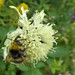 Bee on Scabious Cephalaria gigantea