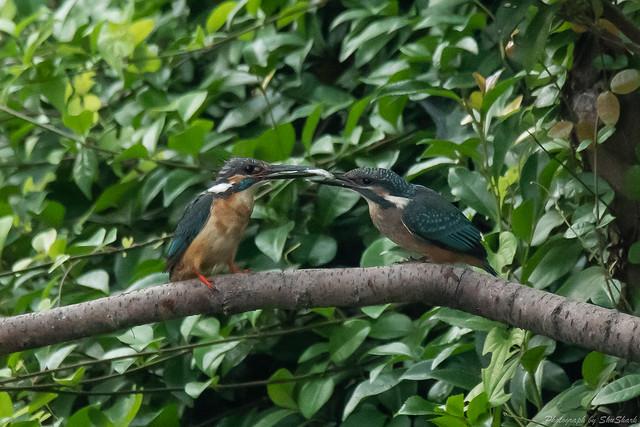 20180716-kingfisher-DSC_6899