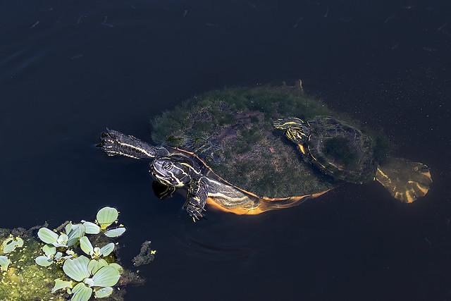 Chicken Turtles (?)