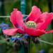 Scotland's Gardens Craigintinney Telferton July 2018 -90