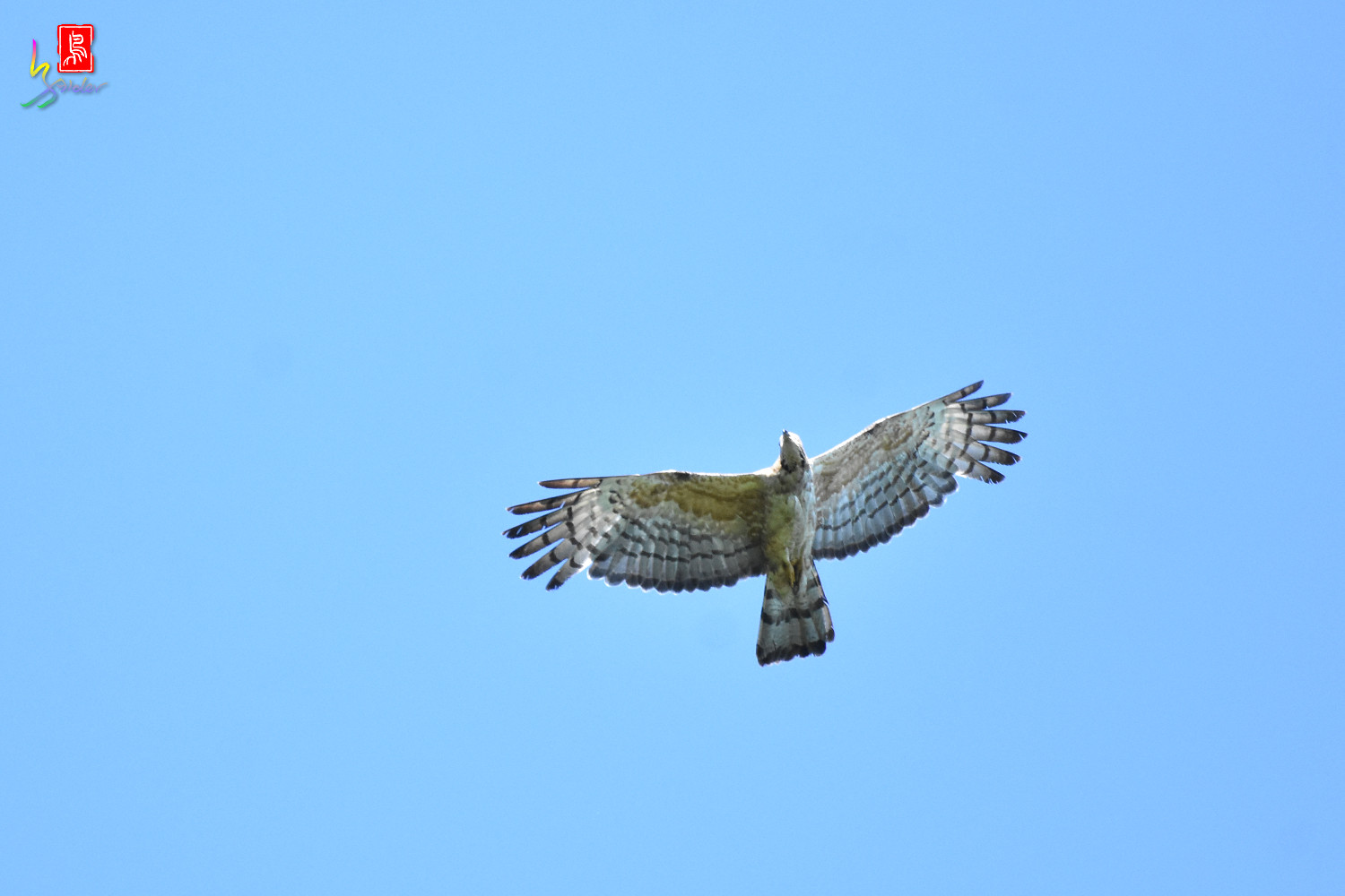 Honey_Buzzard_0211