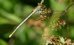 White-legged Damselfly (Platycnemis pennipes) male - Photo of Saires-la-Verrerie