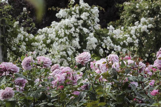 Queen Mary's Rose Gardens, Regents Park