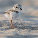 Piping Plover | 2018 - 32