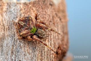 Orb weaver spider (Neoscona subfusca) - DSC_4634