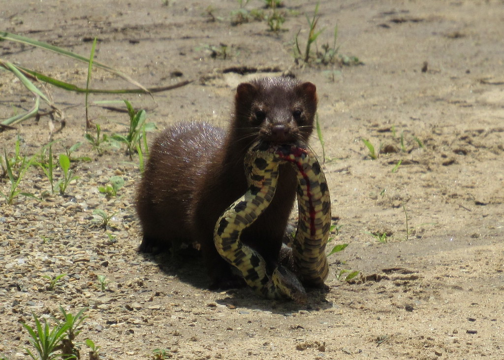 Mink with Western Fox Snake