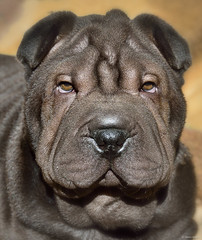 My Shar-Pei puppy