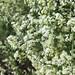 20180625 Upright Hedge Bedstraw - Galium album Flowers Nobury Inkberrow Worcestershire