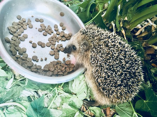 baby hedgehogs 2018 ❤️, july 19