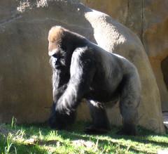 gorilla001