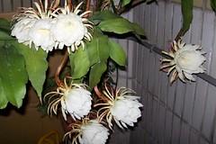 moonlight cactus(0.0), produce(0.0), epiphyllum anguliger(0.0), cactus family(0.0), caryophyllales(0.0), flower(1.0), plant(1.0), floristry(1.0), epiphyllum oxypetalum(1.0), epiphyllum crenatum(1.0),