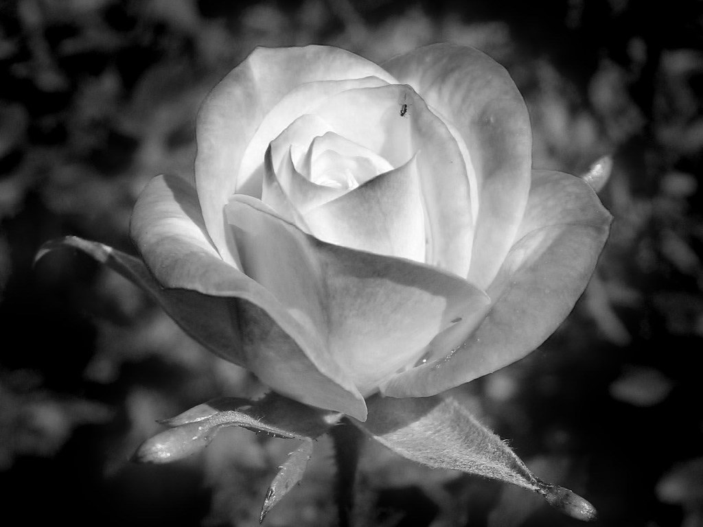 Related Black And White Rose Bouquet Photography Pictures