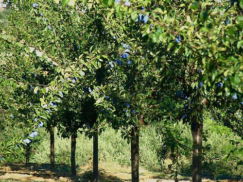 Piante Di Prugne : Prugna o prunus domestico piccoli alberi da frutto