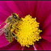 A bee hiking on a flower... by Lionoche