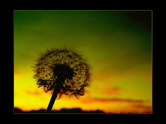 dandelion sunset related keywords - photo #46