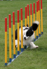 flyball(0.0), dog sports(1.0), animal sports(1.0), dog(1.0), play(1.0), sports(1.0), pet(1.0), dog agility(1.0),